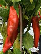 Chile Anaheim 'Big Jim' (Capsicum annuum)