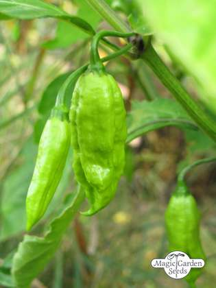 Chile 'Monkeyface' (Capsicum annuum)
