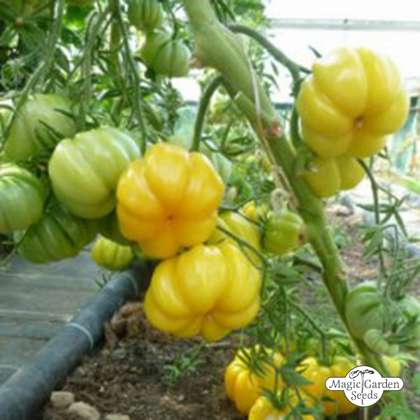 Tomate Amarillo 'Yellow Ruffled' (Solanum lycopersicum)