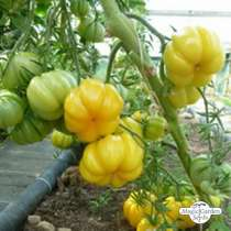 Tomate Amarillo 'Yellow Ruffled' (Solanum lycopersicum) #0