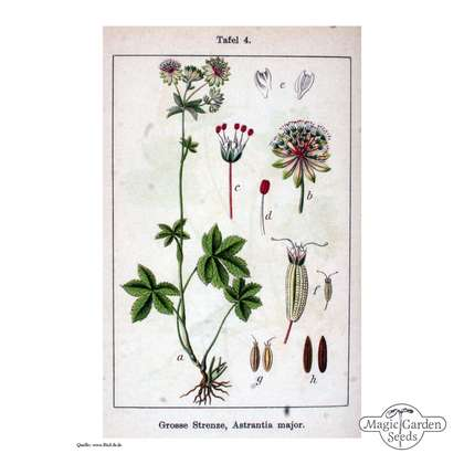 Sanicula hembra (Astrantia major)