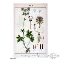 Sanicula hembra (Astrantia major) #0
