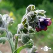 Houndstongue / Gypsy Flower (Cynoglossum officinale) organic