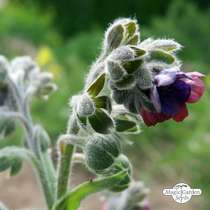 Houndstongue / Gypsy Flower (Cynoglossum officinale) organic #0