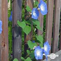 Gloria de la mañana ''Heavenly Blue' (Ipomoea tricolor) #1