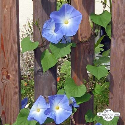 Gloria de la mañana ''Heavenly Blue' (Ipomoea tricolor)