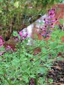 Drug Fumitory (Fumaria officinalis)
