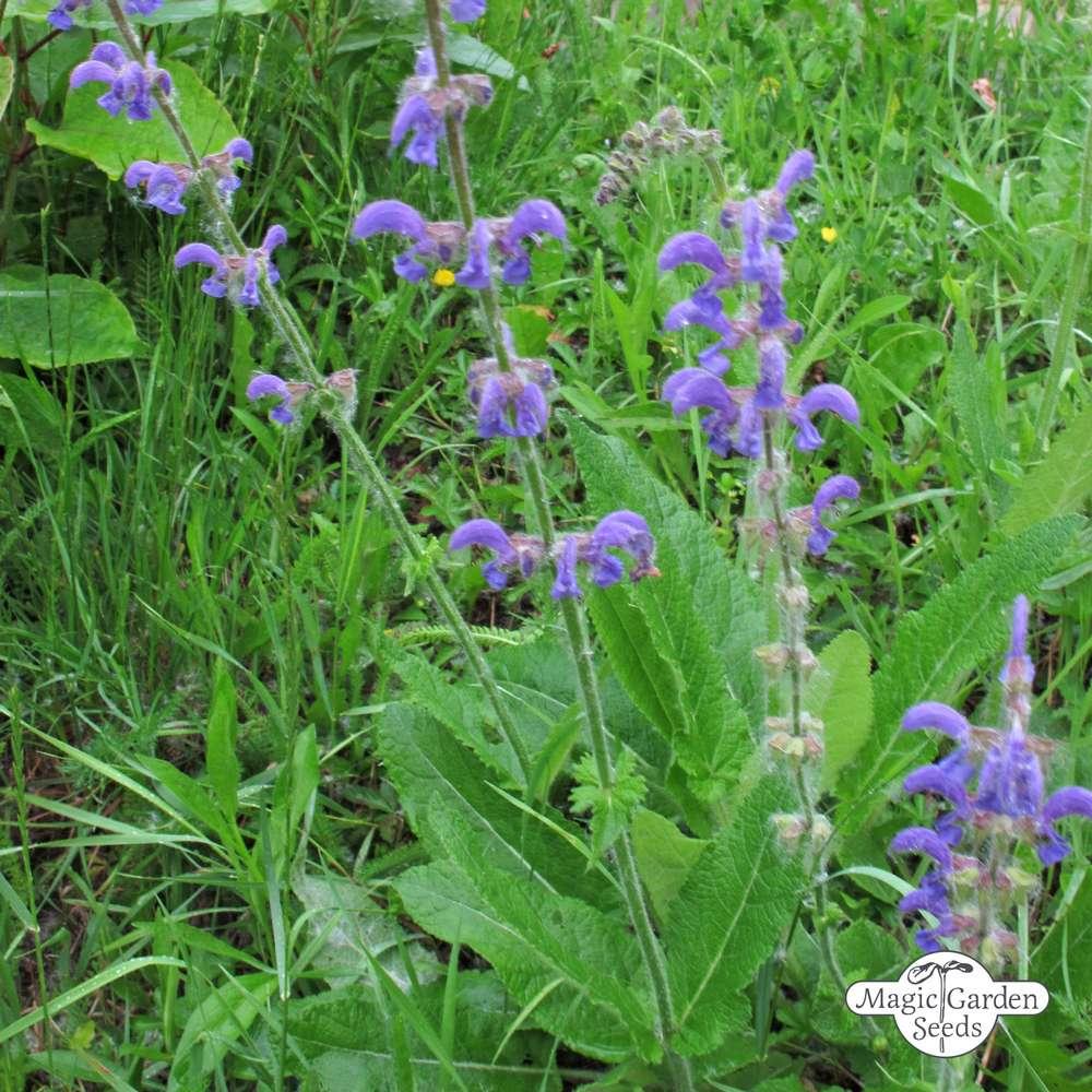 Salvia pratensis Meadow Clary 200 Seeds