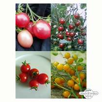 Sweet Cherry Tomatoes - Seed kit #2