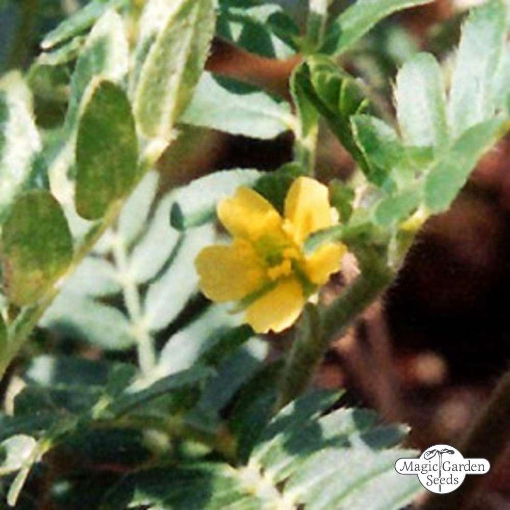 para que sirve la planta tribulus terrestris